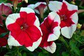 image of petunia  - Floral background - JPG