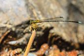 stock photo of dragonflies  - beautiful dragonfly resting on a branch in forest - JPG