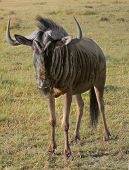 image of wildebeest  - savanna scenery including a Wildebeest in South Africa - JPG
