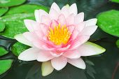 image of water lilies  - A beautiful water lily or lotus in the water - JPG