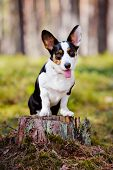 stock photo of corgi  - beautiful tricolor welsh corgi cardigan dog in the forest - JPG