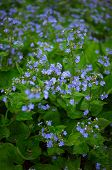 stock photo of forget me not  - Spring time flowers forget me not in the park - JPG