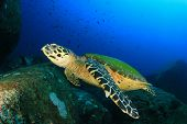stock photo of hawksbill turtle  - Hawksbill Sea Turtle on coral reef - JPG