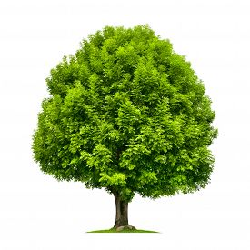 stock photo of species  - Perfect ash tree with lush green foliage and nice shape isolated on pure white background - JPG