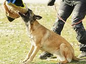 Training of working dog outdoors poster