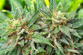 marijuana poster