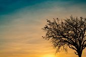 Silhouette Dead Tree On Beautiful Sunset Or Sunrise On Golden Sky. Background For Peaceful And Tranq poster