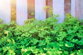 Fresh clovers field on sunny day in the garden, natural background, little green trefoil, symbol of  poster