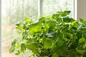 Lemon balm herb plant (Melissa officinalis)  in kitchen window with sunlit raindrops on window pane.