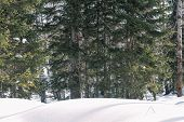 Taiga In The Winter. Forest In Winter. Closeup Of Winter Forest. Conifers Under The Snow. S poster