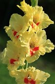 picture of gladiola  - Gladiola  - JPG