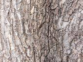 The Bark Of An Old Tree. Larch Bark.. Detailed Bark Texture. poster