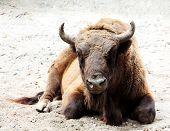 image of aurochs  - Aurochs is on the ground (Bison bonasus) ** Note: Slight blurriness, best at smaller sizes - JPG