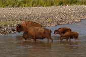 foto of lamar  - A pair of American Bison mothers and calves crossing the Lamar River in Yellowstone National Park - JPG
