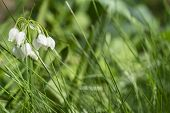 White Spring Flower On A Green Glade.snowdrop Spring Flowers. Fresh Green Well Complementing The Whi poster