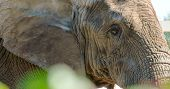 An African Bush Elephant Close Up View Of Its Small Eyes And Skin. The African Bush Elephant Is The  poster