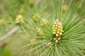 Green Needles On A Pine Branch. Fresh Bump On A Pine Branch. Greeting Card With New Year. Copy Space poster