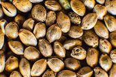 Many Cannabis Seeds. Macro Detail Of Marijuana Seed. Hemp Seeds Background In Macro. Organic Hemp Se poster