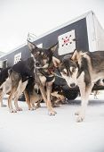 Alaskan Husky Sled Dogs Waiting For A Sled Pulling. Dog Sport In Winter. Dogs Before The Long Distan poster