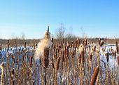 image of bulrushes  - marsh bulrush on celestial background - JPG