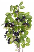 stock photo of aronia  - Best natural remedy for high blood pressure - JPG