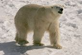 image of polar bears  - taken at cochrane ontario this is a 24 year old male - JPG