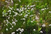 foto of taimyr  - white flowers of cotton grass in taimyr tundra