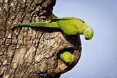 picture of parakeet  - A rose ringed parakeet pair exploring a nest cavity in Sri Lanka  - JPG