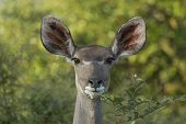 stock photo of greater  - Alert female Greater Kudu in South Africa - JPG