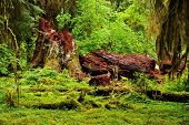 stock photo of olympic mountains  - Hoh Rainforest in the Olympic National Park in Washington state - JPG