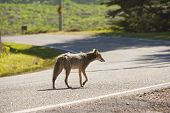foto of coyote  - a coyote alone on a deserted street