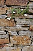 foto of gneiss  - Stone wall with white flowers closeup in sunny day