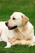 picture of happy dog  - Labrador retriever and a small kitten happy together - JPG