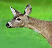 stock photo of mule  - Head of a mule deer in California - JPG