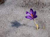 Постер, плакат: Crocus blue flower of Carpathian mountains in spring