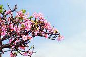 picture of desert-rose  - Beautiful desert rose or ping bignonia blue sky  - JPG