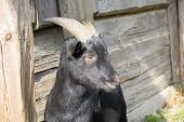 picture of baby goat  - Close up photo of a black baby goat - JPG