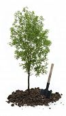 pic of ash-tree  - Green ash tree with a shovel on white - JPG