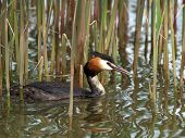 picture of great crested grebe  - Cock of the Great Crested Grebe - JPG
