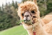 foto of alpaca  - Funny brown alpaca with mouth full of grass - JPG