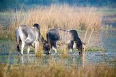 picture of zebu  - Two zebu drinking water from marsh in sanctuary - JPG