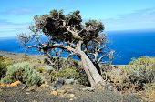 pic of juniper-tree  - Gnarled Juniper Tree Shaped By The Wind at El Sabinar - JPG