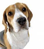 Постер, плакат: Взрослые собаки