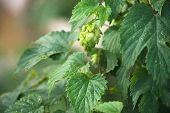 picture of hop-plant  - Plant hop with cones in the early morning in the garden - JPG
