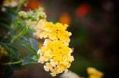 image of lantana  - Cloth of gold or Lantana camara flower vintage - JPG