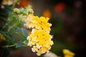 image of lantana  - Cloth of gold or Lantana camara flower vintage - JPG