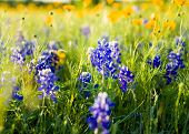 stock photo of bluebonnets  - Texas bluebonnets and sunflowers on a sunny spring morning  - JPG