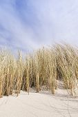 pic of dune grass  - Picture of golden dune grass in sand on the coast of the Baltic Sea - JPG