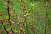 image of small-flower  - branch with little pink flowers twig shrub with small pink flowers flowers in the garden at springtime