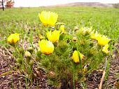 stock photo of adonis  - Plant of the adonis spring with bright yellow flowers - JPG